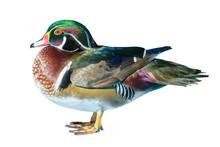 Male Wood Duck Or Carolina Duc...