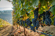 canvas print picture - A row of ripe wine grapes ready for harvest at a vineyard in southern oregon