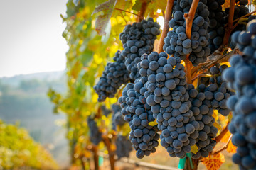 Hrpa zrelog grožđa spremnog za berbu u vinogradu u južnom Oregonu