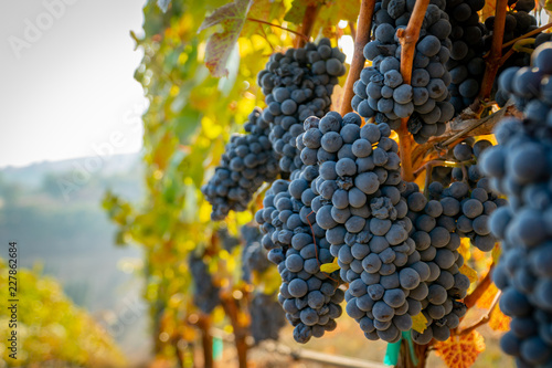 Photo sur Toile Vignoble A bunch of ripe grapes ready for harvest at a vineyard in southern oregon