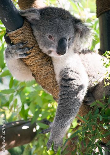 Canvas Prints Koala Koala