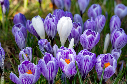 First spring flowers, groups of violet or lilac crocuses