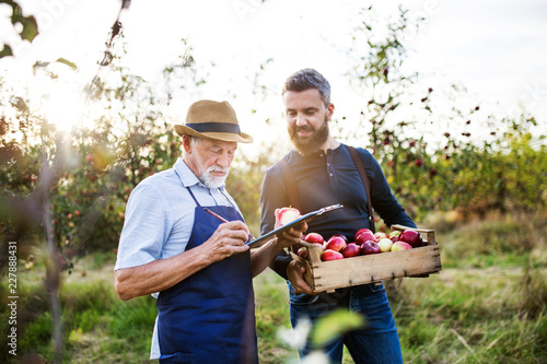 Fotografiet  A senior man with adult son picking apples in orchard in autumn.