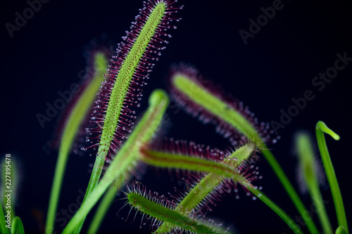 Pinturas sobre lienzo  Carnivorous plant named Drosera, often found in swamps