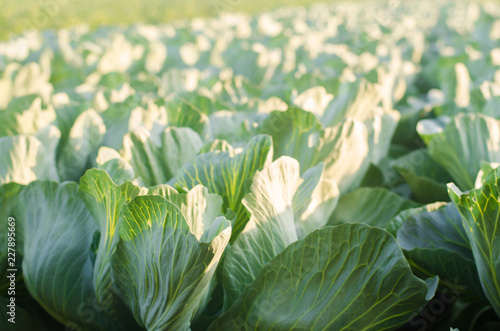 Foto auf Leinwand Olivgrun Cabbage plantations grow in the field. fresh, organic vegetables. landscape agriculture. farmland, farming