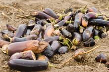 Rotten Spoiled Eggplant Vegeta...