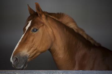 Fototapeta portrait of a horse
