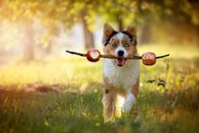 Dog, Australian Shepherd Retrieves Stick With Skewered Apples