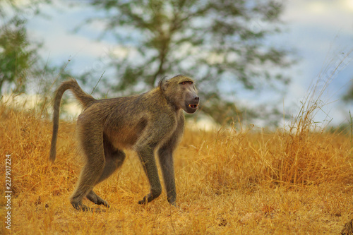 Fototapeta premium Male of Chacma Baboon species Papio ursinus, runs in the dry grass. Cape baboon it is one of the largest of all monkeys. Kruger National Park in South Africa.
