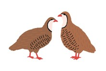 Pair Of Quails Isolated On White Background. Adorable Farm Poultry, Domestic Or Cute Small Barnyard Bird, Gamebird, Funny Wild Fowl. Childish Colored Vector Illustration In Flat Cartoon Style.