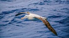 Wandering Albatross (Diomedea ...