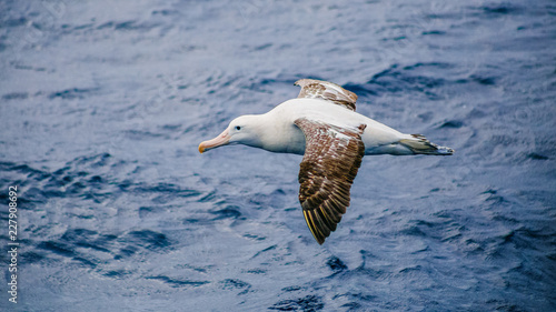Valokuvatapetti Wandering albatross (Diomedea exulans)