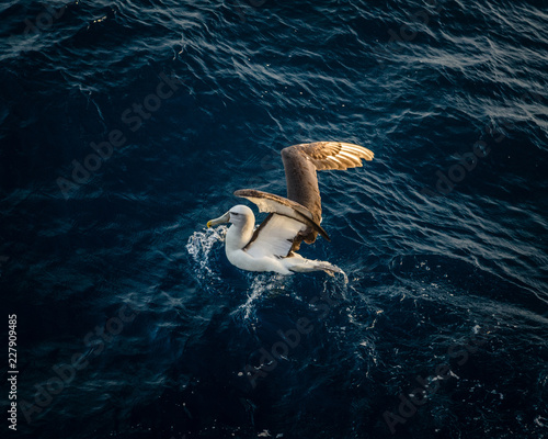 Pinturas sobre lienzo  Shy albatross (Thalassarche cauta)