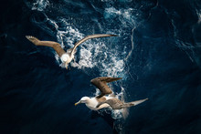 Shy Albatross (Thalassarche Cauta)
