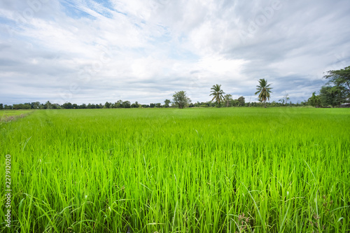 Deurstickers Platteland Green rice field in a cloudy day