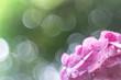 hydrangea with beautiful bokeh