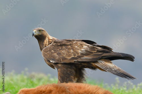 Photo  Golden Eagle feeding from a carcass
