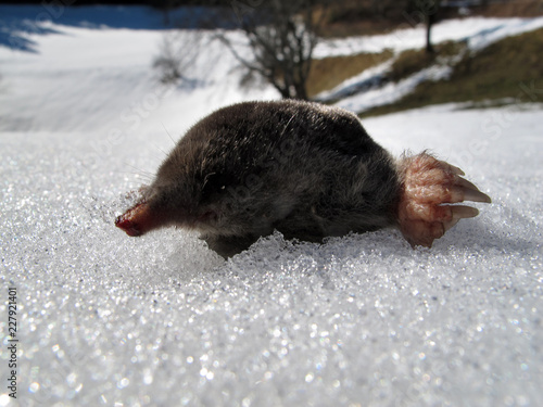 MAULWURF IM SCHNEE . MOLE IN THE SNOW Wallpaper Mural
