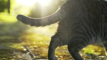 Cat Walks In Park In Sunny Spring Day. Close-up Of The Cat's Tail, Which Smoothly Wave Its Fluffy Tail. The Sun Shines Brightly On The Background