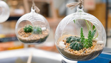 Cactus Plant In The Round Bottle Of Glass Hanging On For Decoration
