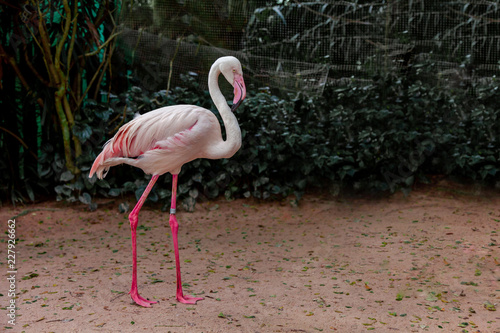 Flamingo The pink bird represents the summer. Flamingo a water bird species in the family Phoenicopteridae live in continent America.