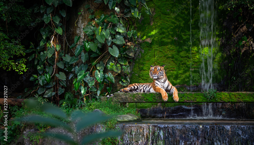 Fototapeta Bengal tiger resting Near the waterfall with green moss from inside the jungle zoo .