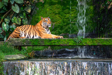 Bengal Tiger Resting Near The ...