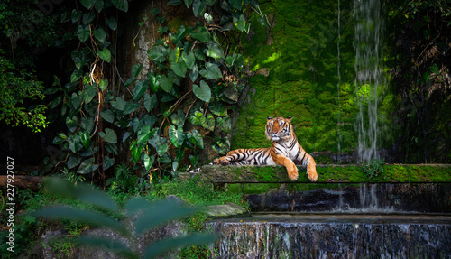Photo sur Toile Tigre Bengal tiger resting Near the waterfall with green moss from inside the jungle zoo .