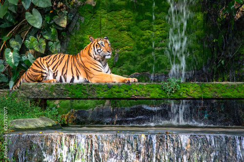 Photographie Bengal tiger resting Near the waterfall with green moss from inside the jungle zoo