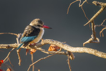 Brown Hooded Kingfisher In Kruger National Park, South Africa ; Specie Halcyon Albiventris Family Of Alcedinidae
