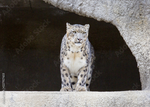 Snow leopard. It is a large predatory mammal of the cat family living in the mountains of Central Asia. The snow leopard is the pearl of the mountains.