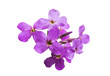 small lilac flowers isolated