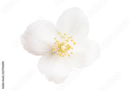 jasmine flower isolated Canvas Print