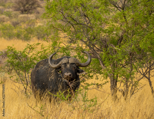 A large cape buffalo seeks shelter from the sun under a thorn tree on the plains of Africa image with copy space in landscape format