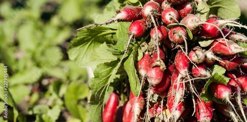 Ripe radish in a garden bed