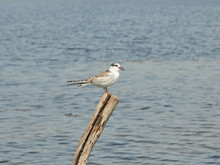 Juvenile Common Tern, Sterna Hirundo, Is Having A Rest On A Pile Near The River
