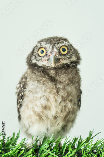 Spot owl on green grass and white background,
