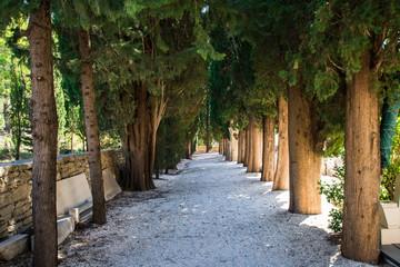 Fototapeta Alley of poplars in Croatia
