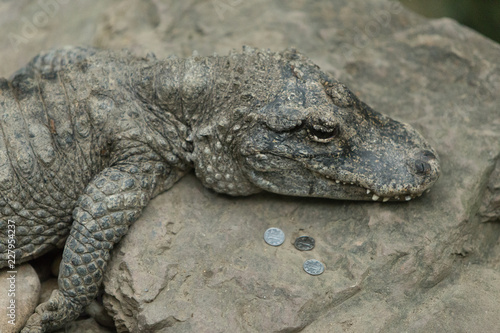 Foto op Aluminium Krokodil crocodile with mouth closed