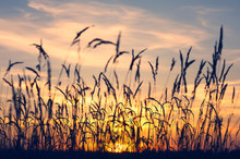 Summer Evening Landscape With Reeds Against The Sunset Background