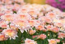 Beautiful Pink Chrysanthemum Background