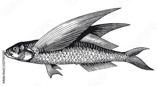 Fotografija Vector High Detail Flying Fish Engraving