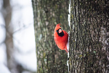 Funny Angry Red Northern Cardinal Bird, Cardinalis, Perched On Tree Trunk During Winter Snow Color In Virginia