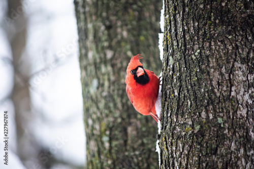 Leinwand Poster Funny angry red northern cardinal bird, Cardinalis, perched on tree trunk during