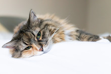 Closeup Portrait Of Cute Sad Calico Maine Coon Cat Face Lying On Bed In Bedroom Room,  Depression