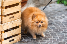 One Cute Adorable Sad Pomeranian Dog Face, Brown Eyes On Leash Fluffy Small Pedigree Dog In Italy Street, Fur Coat