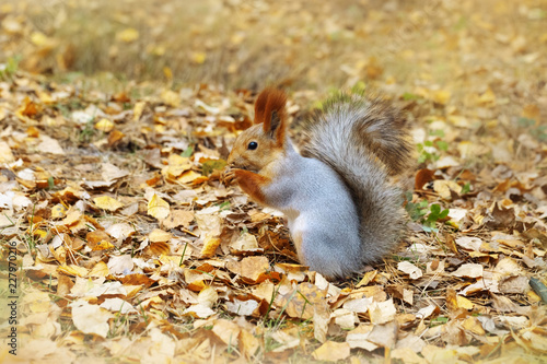 Red squirrel on autumn leaves in nature