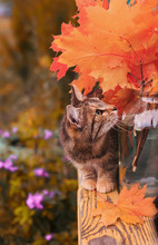 Beautiful Striped Cat In The Autumn Garden On A Bench Playing Among The Leaves And Branches Of  Red Maple