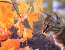 Portrait Of A Beautiful Striped Cat Sitting In The Garden Among The Branches With Bright Red And Yellow Maple Leaves On A Sunny Autumn Day