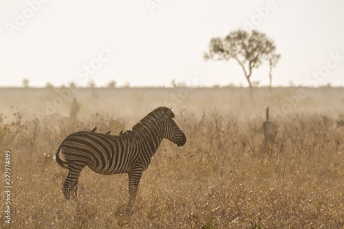 Foto op Aluminium Zebra Plains zebra in Kruger National park, South Africa; Specie Equus quagga burchellii family of Equidae